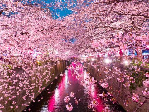 东京樱花私人游