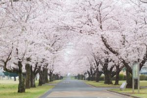 Let's Enjoy Cherry Blossoms in Tokyo! Vol.2 ~ West Tokyo~