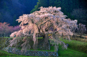 Let's see Cherry Blossoms in Japan's ancient capitals Vol.2 ~ Nara ~