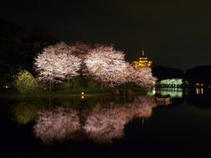 Modern Yokohama or nostalgic Kamakura – where would you like to see Cherry-Blossoms?