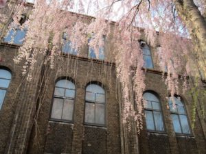 Enjoy Cherry Blossoms in nature-rich Sapporo!