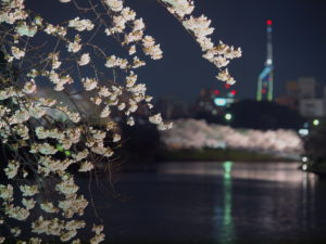 Enjoy Cherry Blossoms in a city surrounded by sea and nature – Fukuoka
